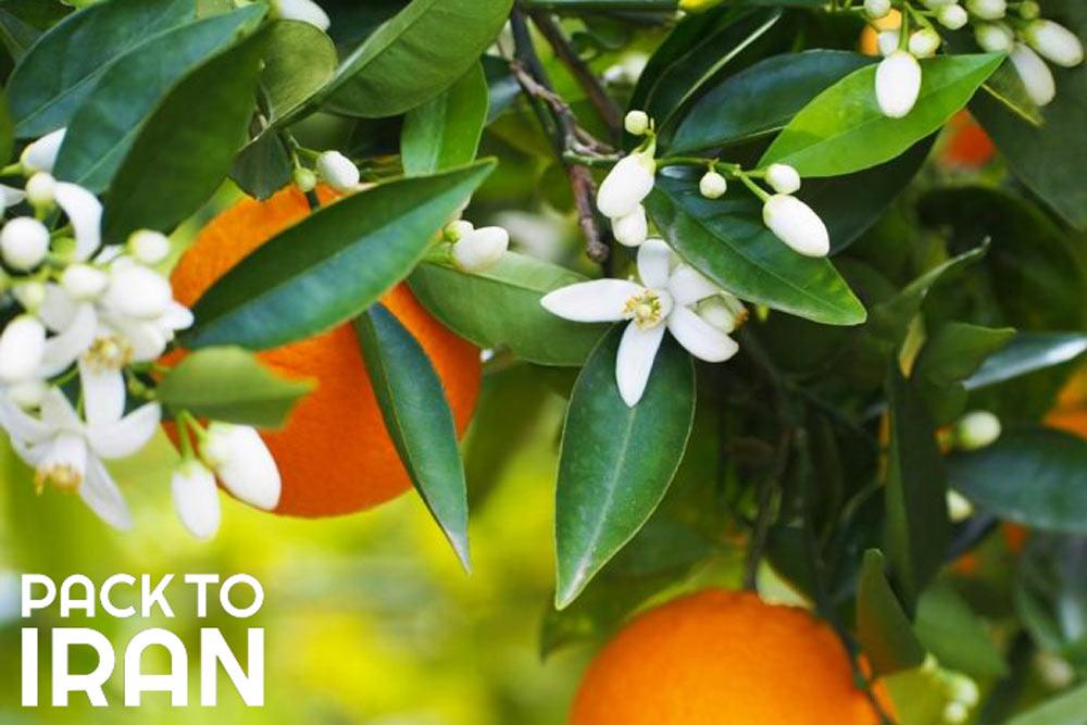 Sour Orange blossom - Naranjestan-e Ghavam - Shiraz, Iran