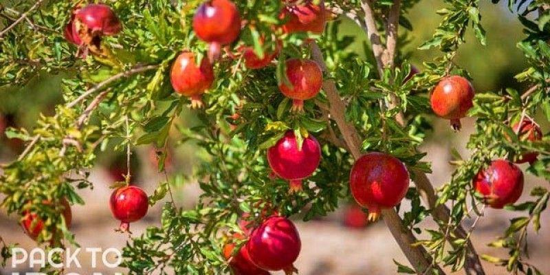 Pomegranate  -The Persian fruit of heaven